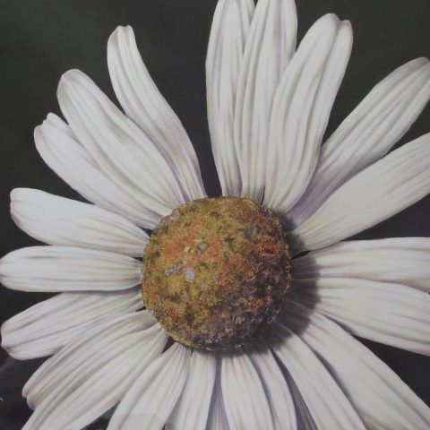 Botanical drawing of a daisy